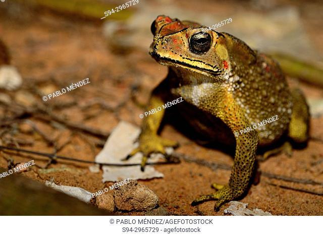 Asian common toad (Duttaphrynus melanostictus) in Siem Reap, Cambodia