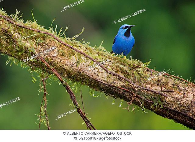 Shining Honeycreeper, Cyanerpes lucidus, Tropical Rainforest, Costa Rica, Central America, America
