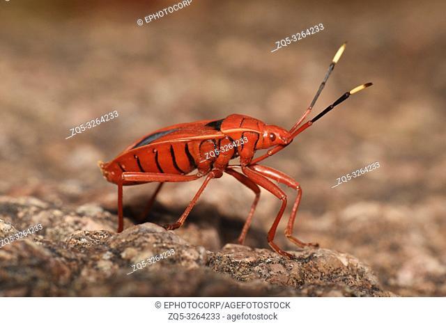 Red Bug, Pyrrhocoridae , Hyderabad, Telangana, India