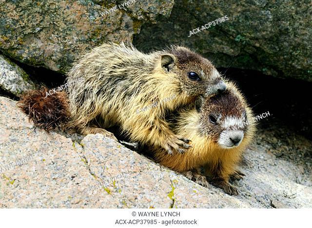 Juvenile yellow-bellied marmots Marmota caligata, southern Okanagan Valley, British Columbia