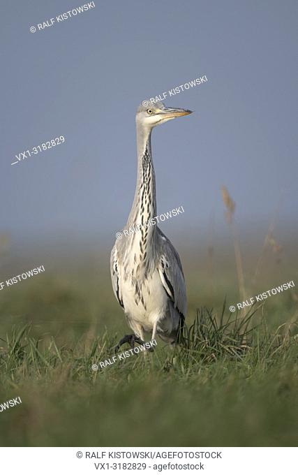 Gray Heron ( Ardea cinerea ), slowly moving through high vegetation, watching around attentively, frontal shot, close.