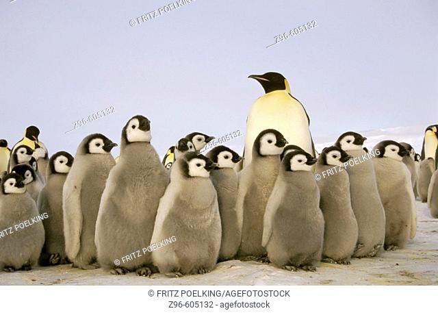 Emperor penguin (Aptenodytes forsteri). Dawson-Lambton glacier, Antarctica, December