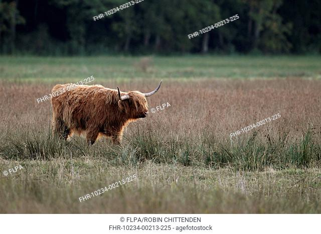 Domestic Cattle, Highland cow, used for conservation grazing management on wetland reserve, Strumpshaw Fen RSPB Reserve, River Yare, The Broads N.P