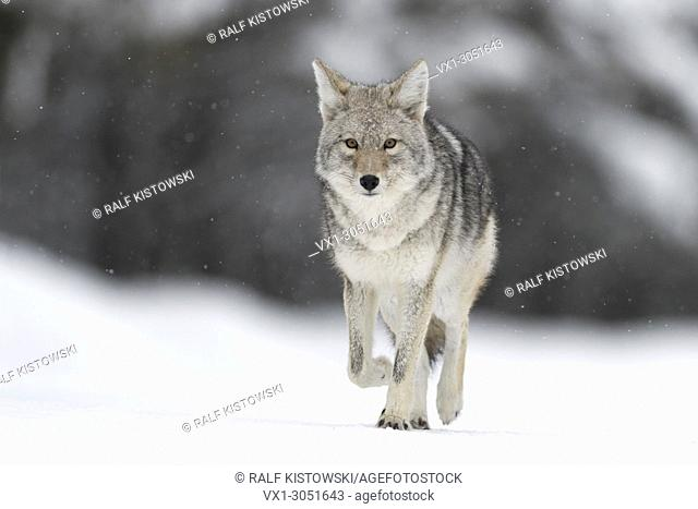 Coyote (Canis latrans ), in winter, walking on frozen snow, light snowfall, watching, natural background, close, eye contact, Yellowstone NP, Wyoming, USA