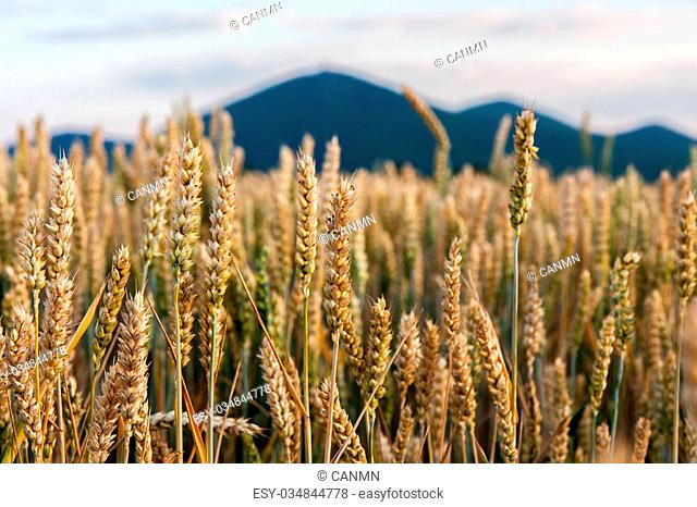 Golden field of ripening wheat on a warm and sunny day
