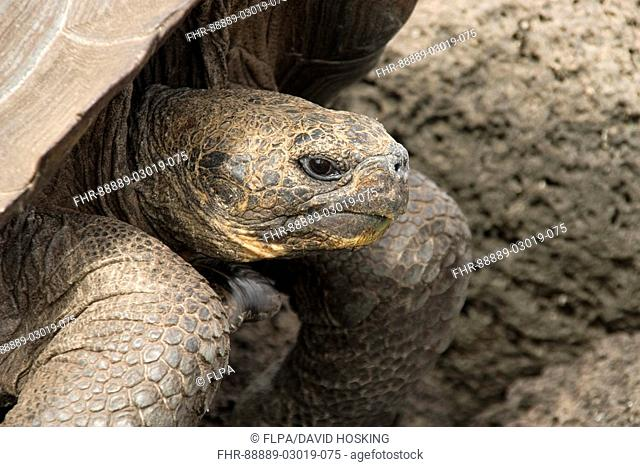Galapagos giant tortoise from San Cristobal head view