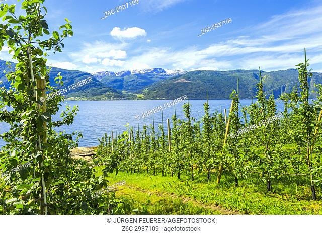 Orchard and mountains in the community of Leikanger at the coast of the Sognefjord, Norway, Scandinavia