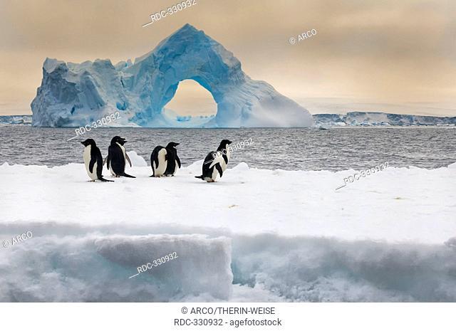 Adelie Penguins on icefloe, iceberg with natural arch, Paulet Island, Erebus and Terror Gulf, Antarctic peninsula / Pygoscelis adeliae