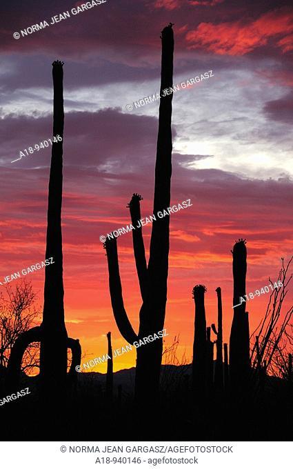 Saguaro Cactus Carnegiea gigantea tower over Saguaro National Park West at sunset in the Sonoran Desert in Tucson, Arizona, USA