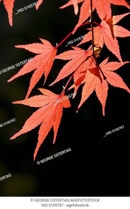 Japanese maple leaves in autumn, Portland Japanese Garden, Washington Park, Portland, Oregon