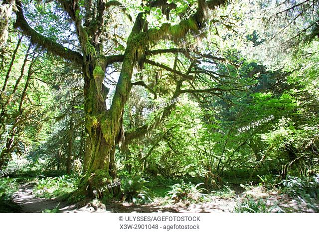 Hoh river trail, rain forest, Olympic National Park, State of Washington, USA, America