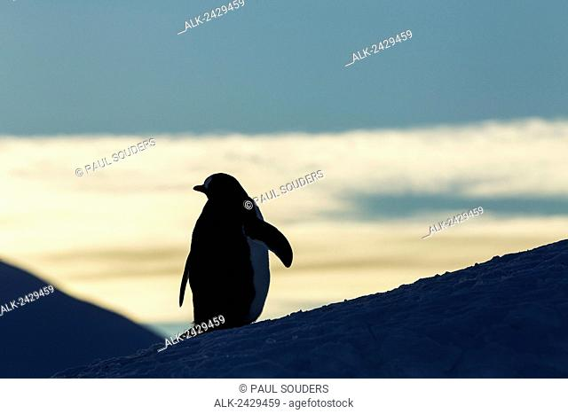 Antarctica, Anvers Island, Silhouette of Gentoo Penguin (Pygoscelis papua) standing at dusk in rookery near Port Lockroy