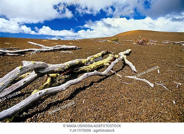 'Ohi'a Lehua tree skeletons, remains of once-flourishing 'Ohi'a and tree fern Hapu'u native rainforest, Pu'u Pua'i, a cinder cone at distance that formed during...