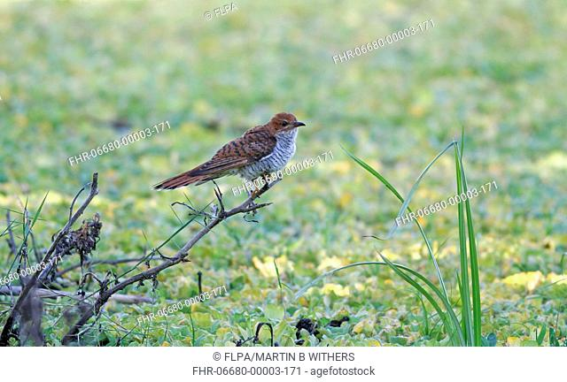 Grey-bellied Cuckoo Cacomantis passerinus hepatic form, adult female, perched on branch overhanging swamp, Sri Lanka