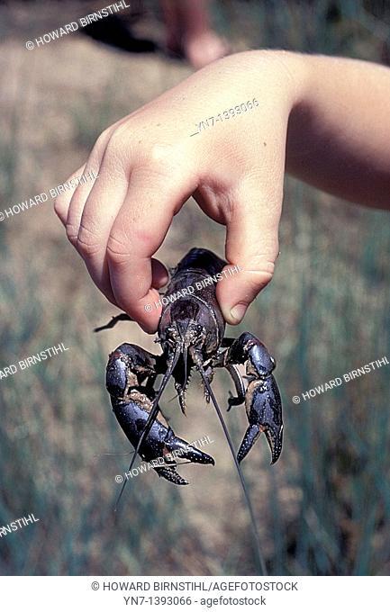 Australian yabbie Cherax destructor held in a tentative child's hand