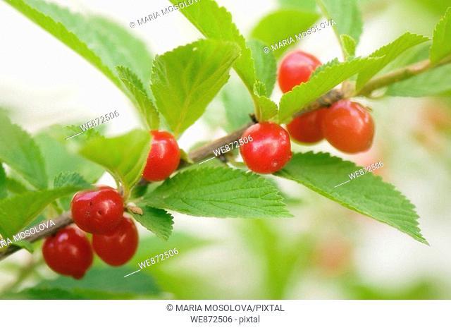 Red Ripe Nanking Bush Cherries. Prunus tomentosa. June 2008 Maryland, USA