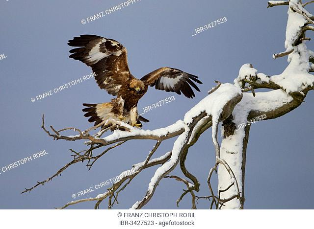 Golden Eagle (Aquila chrysaetos) approaching to land on a snow-covered tree