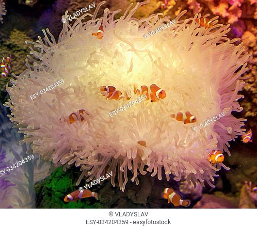 Clown Anemonefish sheltering among the tentacles of its sea anemone