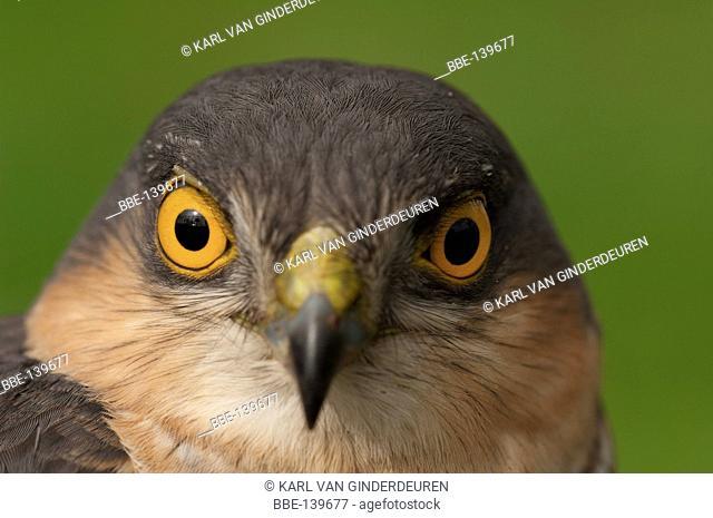 Portrait of a sparrowhawk