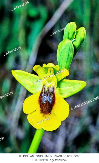 Yellow Bee Orchid (Ophrys lutea)