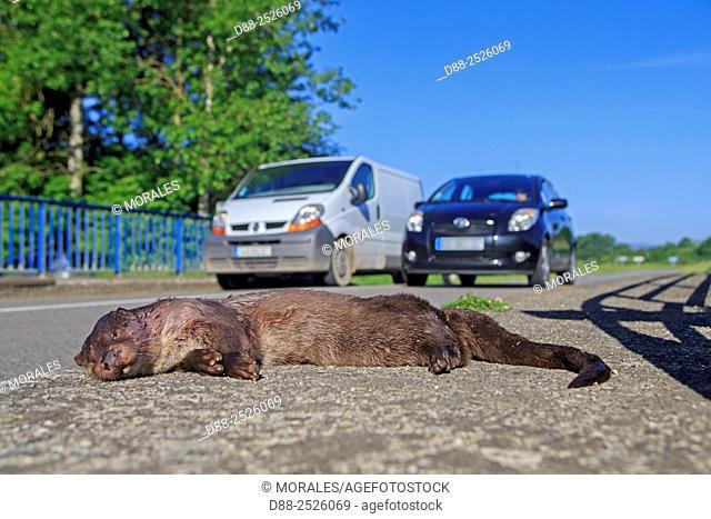 France, Alsace, River Otter Lutra lutra, crushed on the roadside