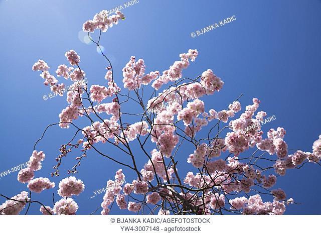 Japanese Flowering Cherry, Prunus 'Beni-yutaka', in spring agains blue sky