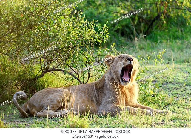 Lion (Panthera leo) yawning. Serengeti National Park. Tanzania
