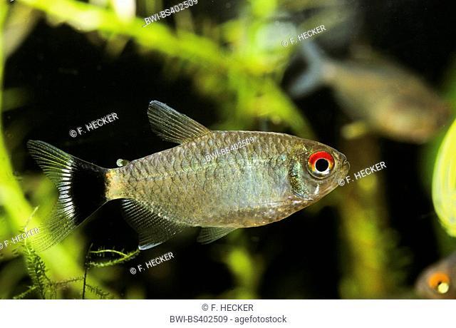 Red eye tetra, Yellow-banded moenkhausia, Yellow back moenkhausia, Yellowhead tetra (Moenkhausia sanctaefilomenae), swimming