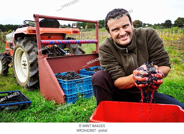 A man with his hands full of fresh picked crushed red grapes