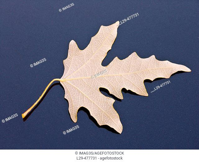 White poplar leave (Populus alba)