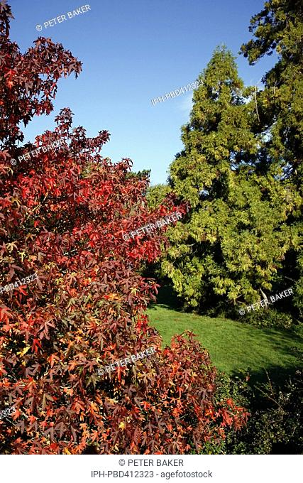 Littlebredy - An Autumn splash of vibrant colour from a Maple in the grounds of Brideshead House