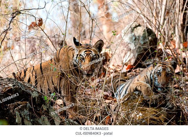Bengal tiger cubs (Panthera tigris tigris), Bandhavgarh National Park, India