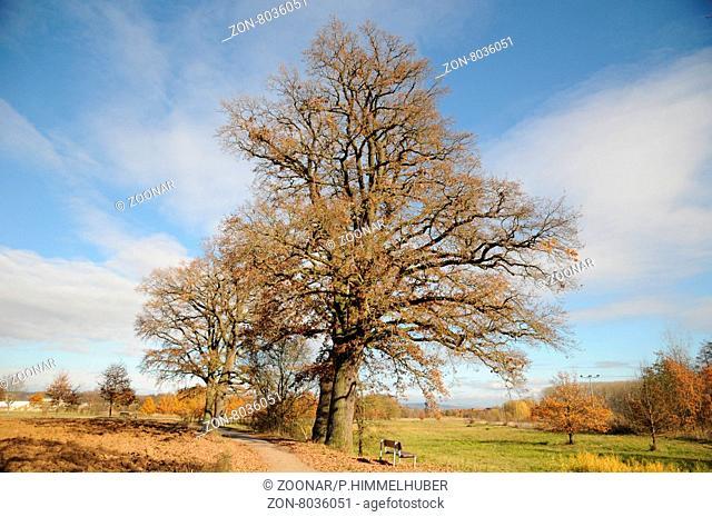 Quercus robur, Stieleiche, German oak, Naturdenkmal