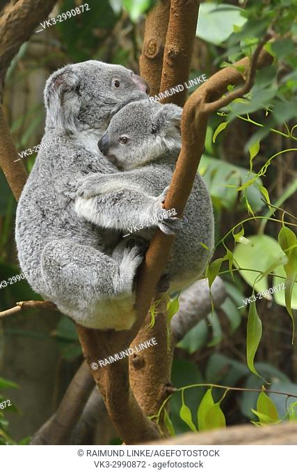 Koala, Phascolarctos cinereus, Mother with Young on Tree, Germany
