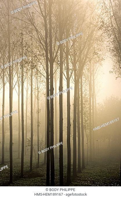 France, Indre et Loire, poplar grove in the mist near Chinon