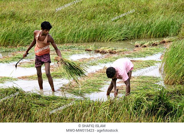 Farmers collecting half ripened Boro paddy, from the fields on the bank of Jamuna river, two weeks earlier than due harvesting time