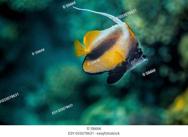 Red Sea Bannerfish - Heniochus intermedius, Red Sea, Egypt