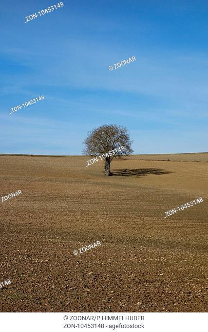 Juglans regia, Walnut Tree, Winter Crop Field