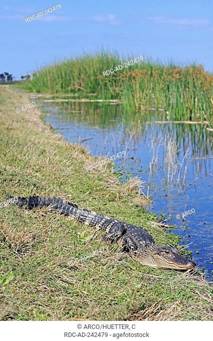 Young American Alligator Florida USA Alligator mississippiensis