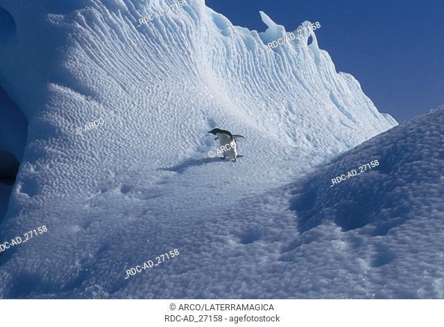 Adelie Penguin Antarctica Pygoscelis adeliae