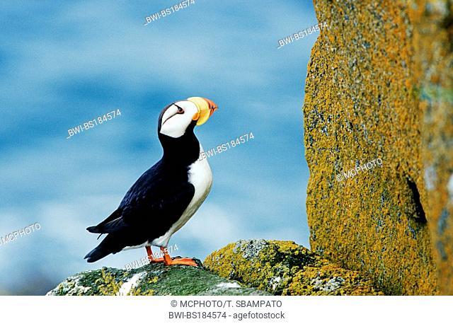 horned puffin (Fratercula corniculata), on rock, USA, Alaska, Beringsee, Round Island