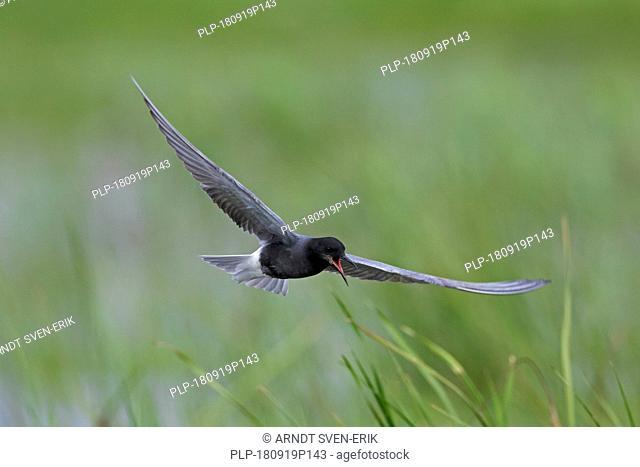 Black tern (Chlidonias niger) flying in breeding plumage over wetland in spring