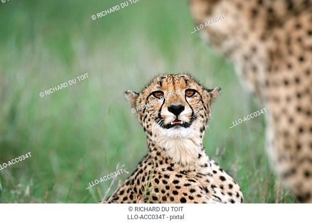 Portrait of a Female Cheetah Acinonyx jubatus Snarling  Phinda Resource Reserve, Kwa-Zulu Natal Province, South Africa
