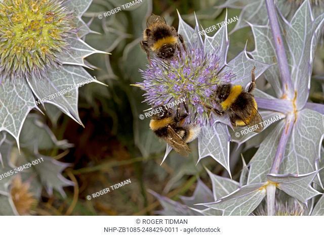 Vestal Cuckoo Bumblebee, Bombus vestalis, left and top, with B. terrestris or lucorum, on Sea Holly, summer, Blakeney Point, Norfolk