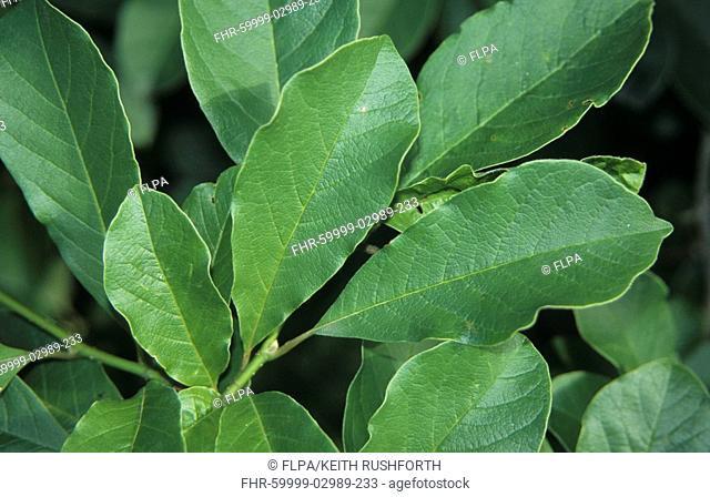Magnolia Magnolia x loebneri 'Merrill', leaf