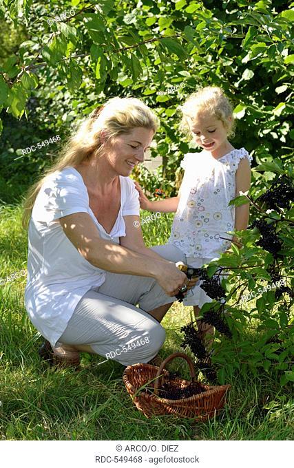 Woman and harvesting elderberries, Elder, elderberry / (Sambucus nigra, Sambuci fructus)