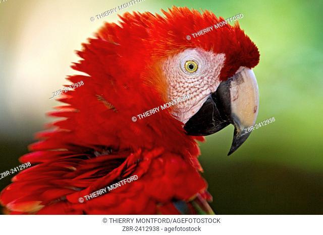 Ara macao. Red macaw. Portrait. Salvation islands. French Guiana