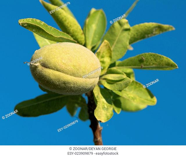 Branch of almond tree