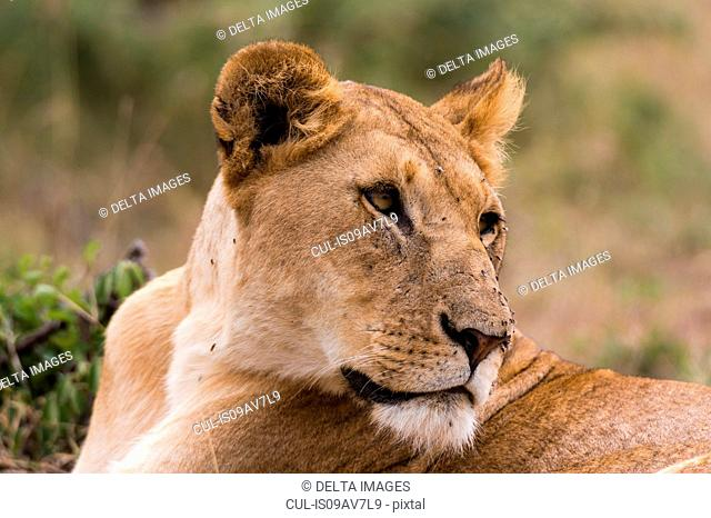 Lioness (Panthera leo), Masai Mara, Kenya, Africa