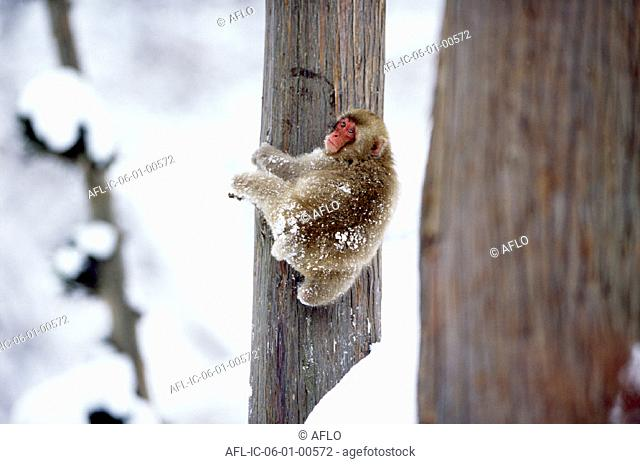 Snow monkey climbing up a tree in the snow